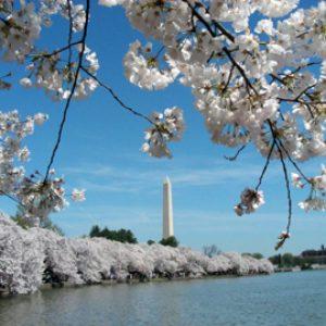 blog.mcclureblock_cherryblossomsdc-300x300 CherryBlossomsDC