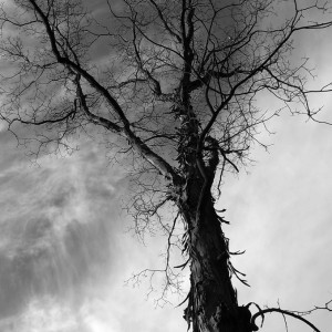 blog.mcclureblock_shabbark-300x300 Shagbark Hickory Tree
