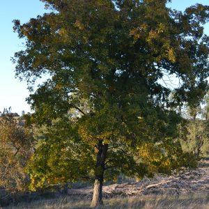 blog.mcclureblock_dsc_0045-300x300 Hickory_tree